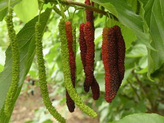20-pcs-font-b-bag-b-font-Rare-Fruit-Tree-Taiwan-long-font-b-mulberry-b