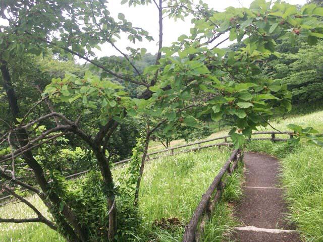 狭山公園 東村山 桑の木