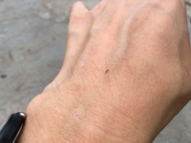 インドネシアの蟻