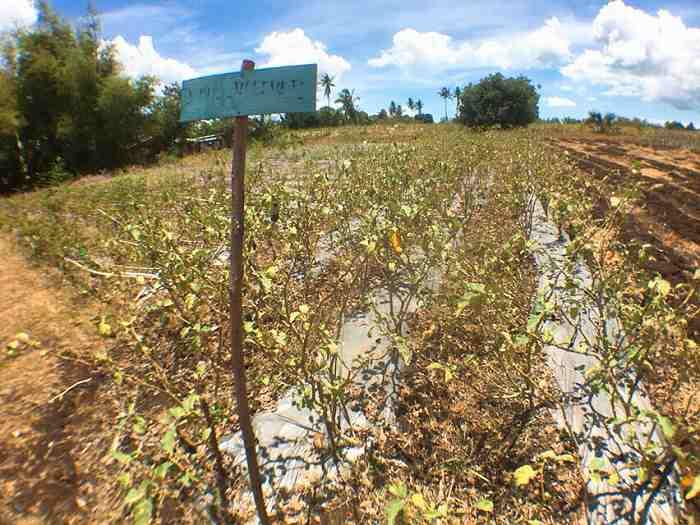 フィリピン 農業