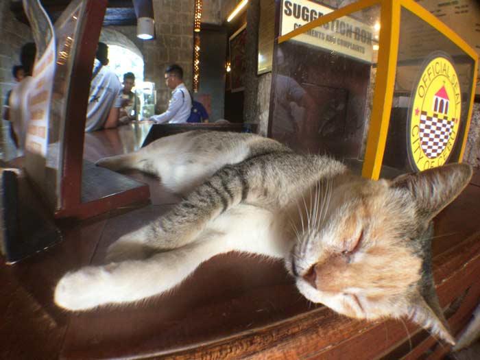 フィリピン 猫